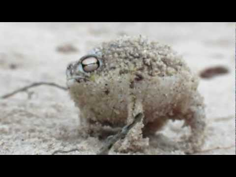 Worlds Cutest Frog – Desert Rain Frog