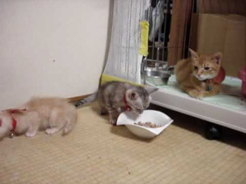 仔猫生後46日初めてのディナー A kitten The first dinner (Fish dishes)